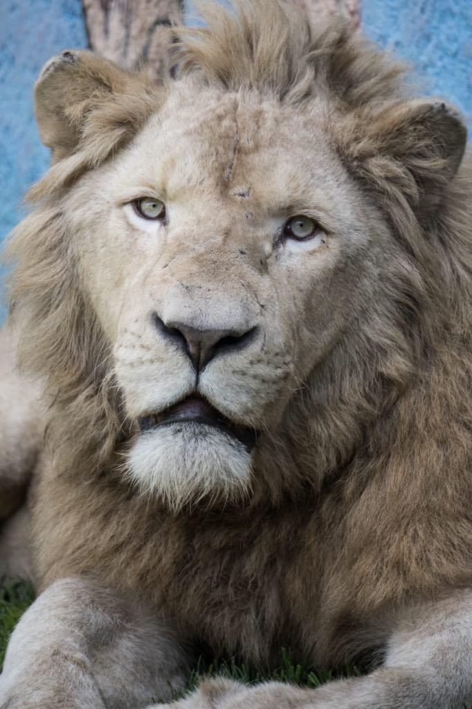 Ónix, el León blanco enReCiCa